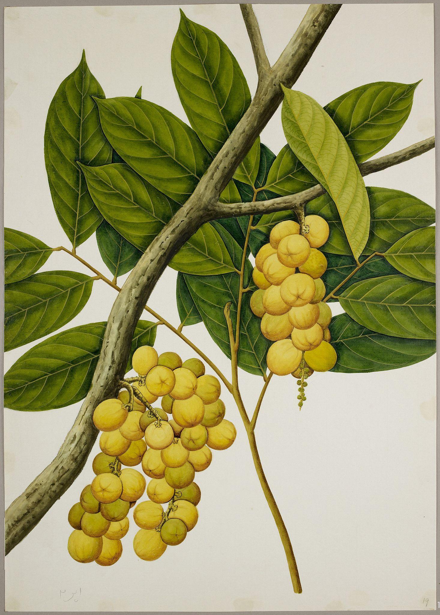 Lansium domesticum, 1824.