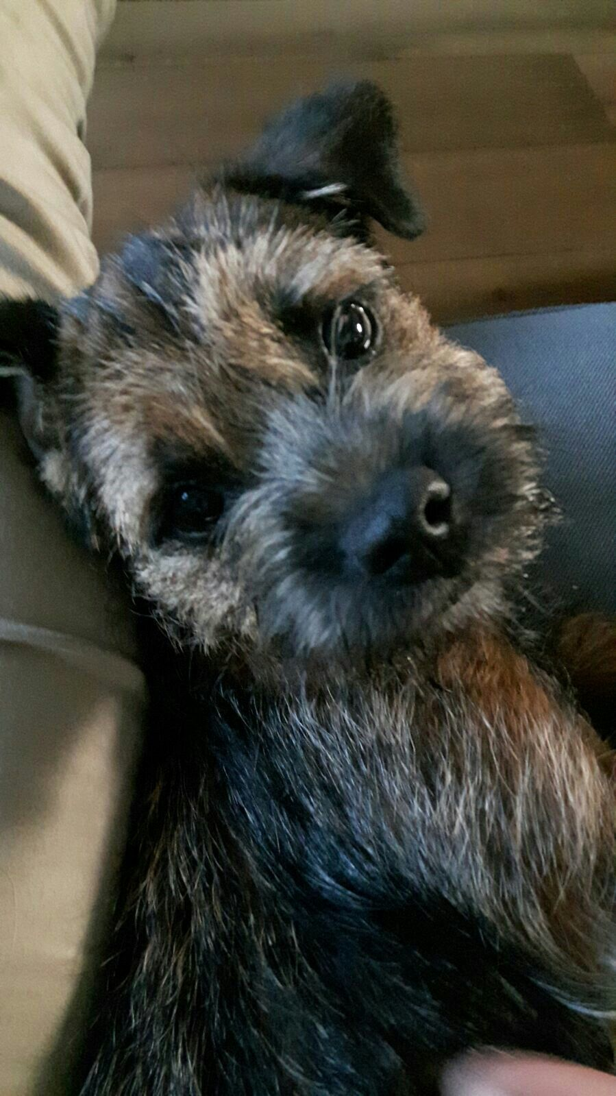Hi there Patterdale terrier, Border terrier puppy, Terrier