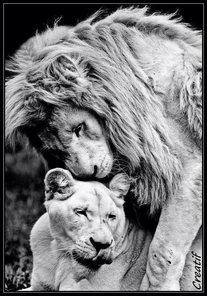 суперские картинки со львами общие неприятности