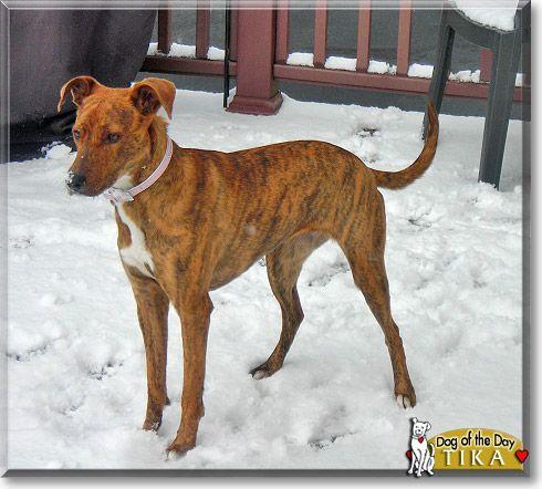 Tika The Dog Of The Day Pitbull Mix Pitbulls Beautiful Dogs