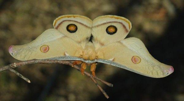 Emperor Gum Moth (Opodiphthera eucalypti)