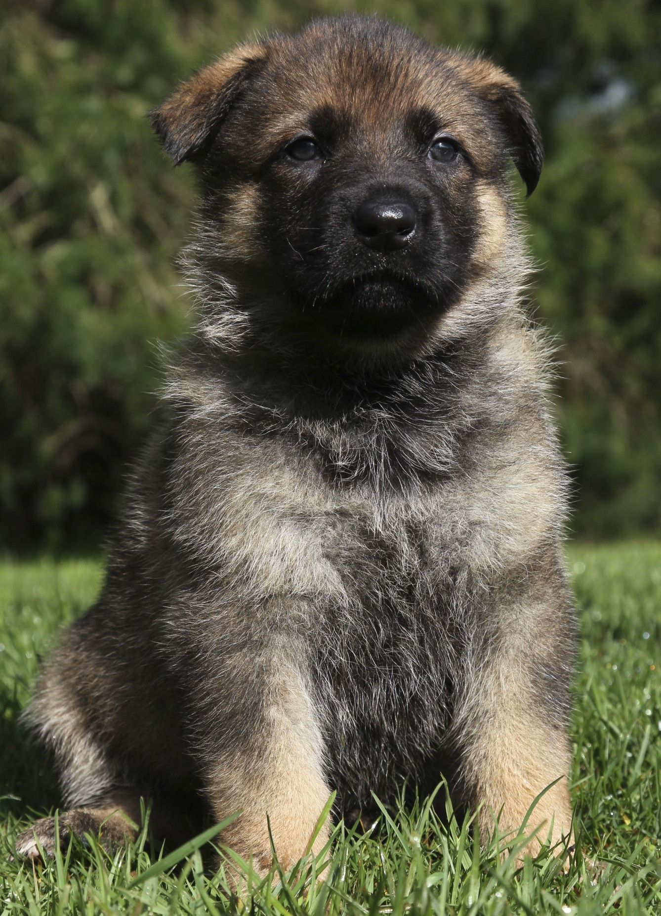 Watch The Sable Color Change From Birth To Adulthood German Shepherd Colors Sable German Shepherd Sable German Shepherd Puppies