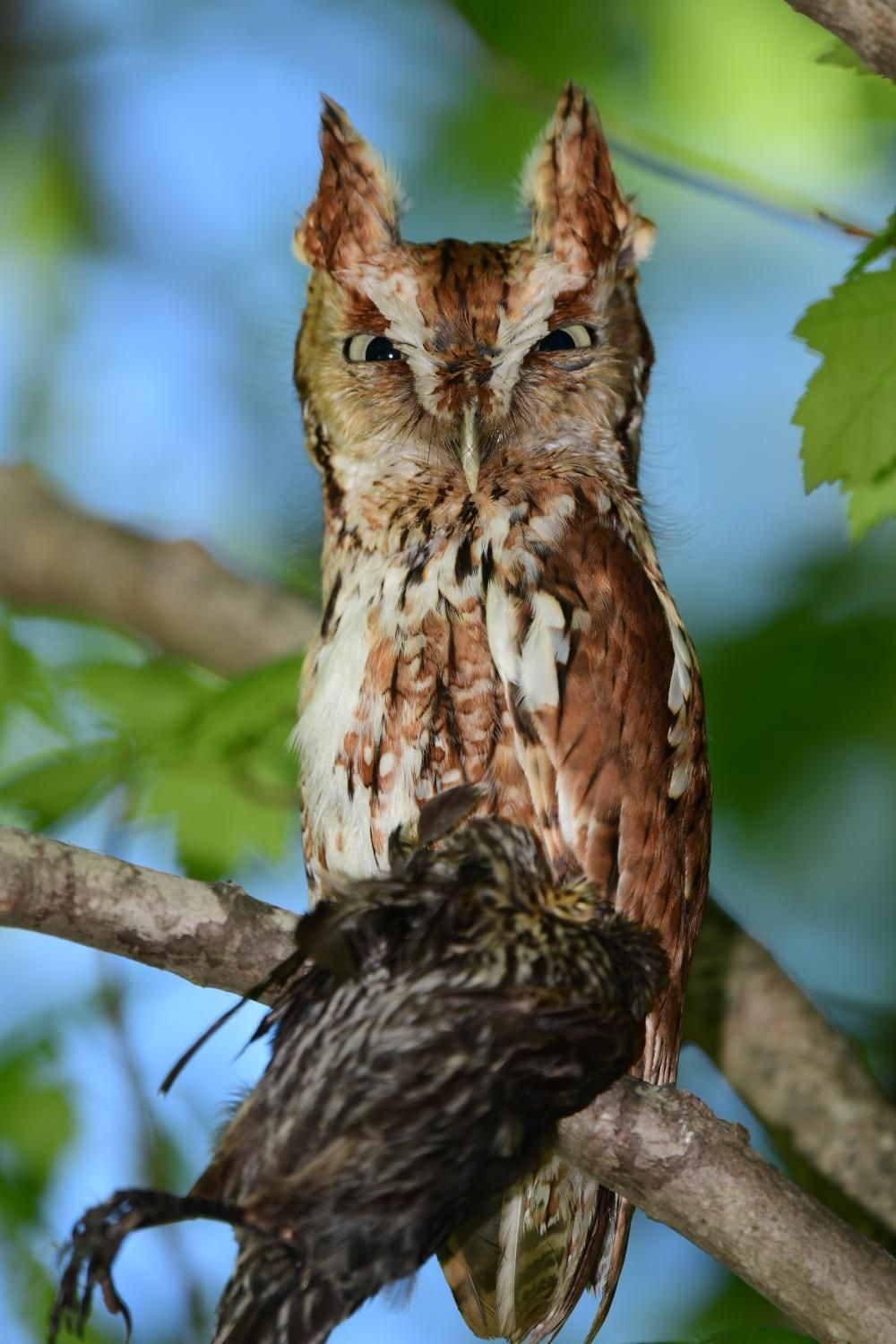 Eastern Screech Owl | Sudbury Valley Trustees | Screech ...