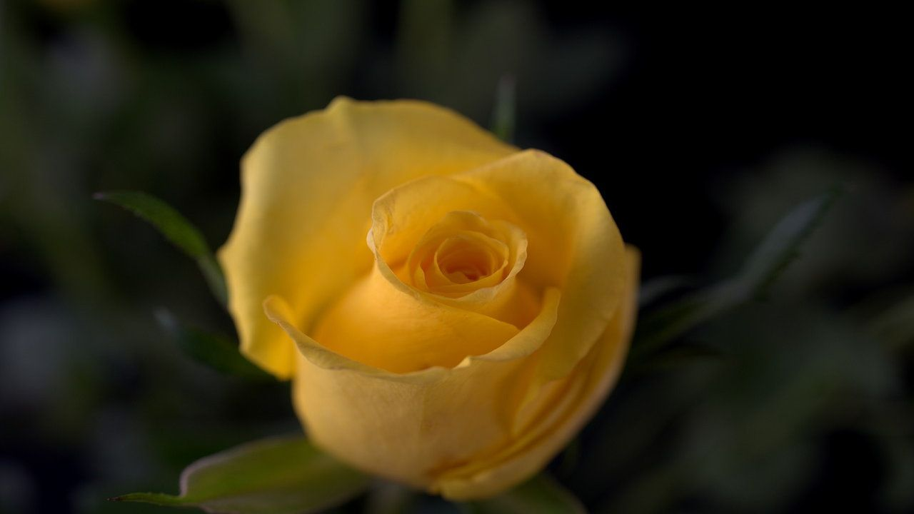100 Happy Rose Day Photos Wallpapers Images 2021 Rose Happy Rose Day Rose Day Images