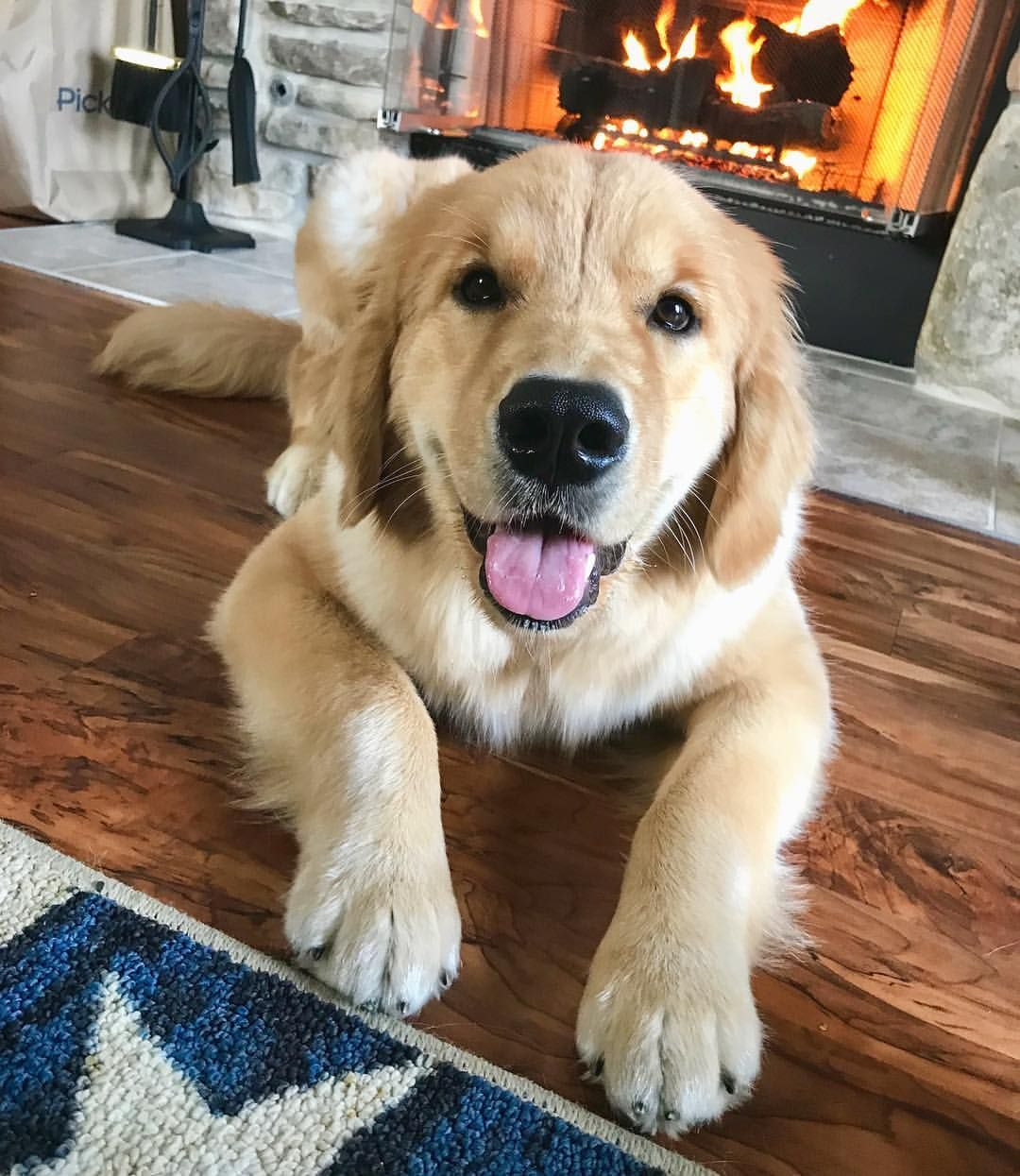 Rollie The Golden Is Enjoying The Fall Weather Golden Retriever