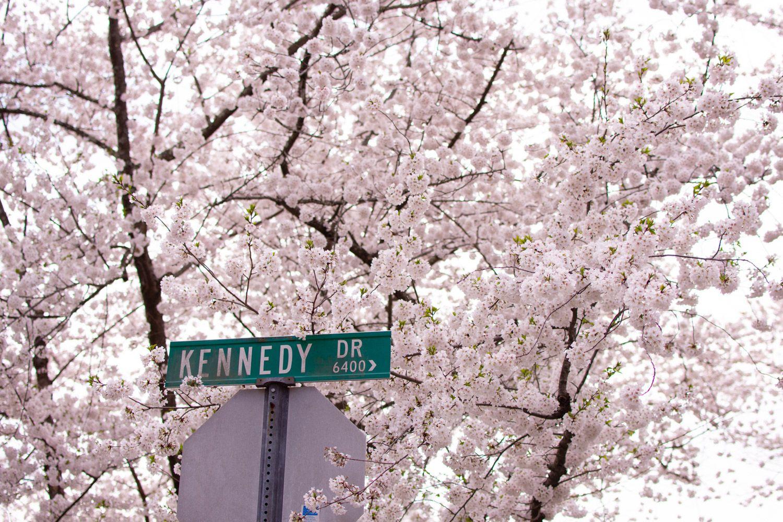 Kenwood Cherry Blossoms Experience Peak Bloom Without The Crowds Cherry Blossom Cherry Blossom Dc Blossom