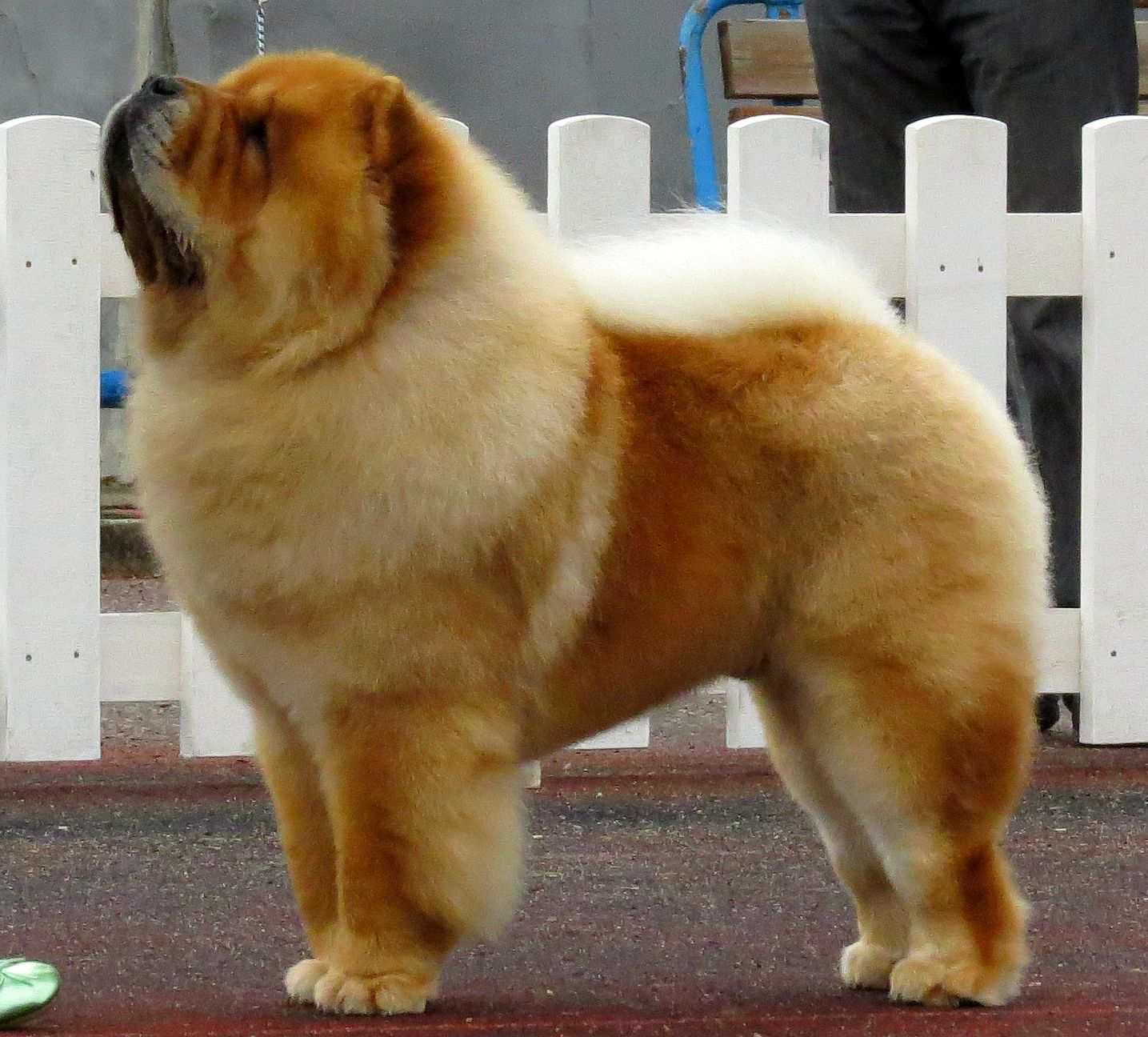 Chow Chow Chow Chow Dogs Dog Breeds