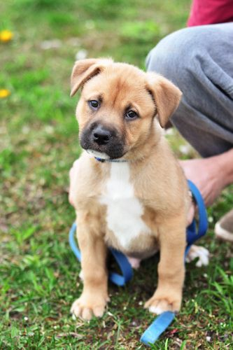 Bullmastiff German Shepherd Mix Puppies For Sale With Images