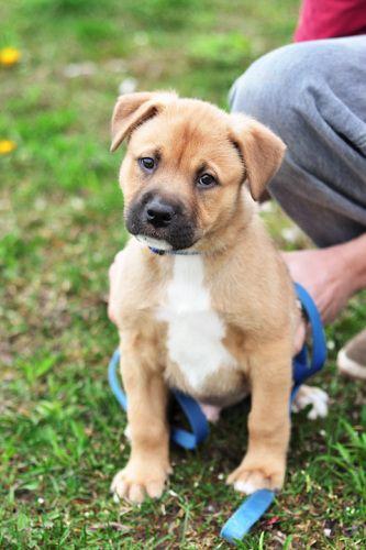 Bullmastiff German Shepherd mix puppies for sale | Dogs ...