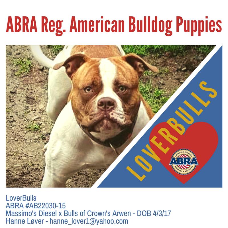 American Bulldog Puppies For Sale Abra American Bulldog Registry Archives American Bulldog Puppies Bulldog Puppies American Bulldog