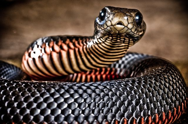 Ok Yes This A Red Belly Black Snake Witch Is A Pretty Deadly And To Most People It Is Scary Slimy Looking But If You Have Ever Fe Cute Snake Snake