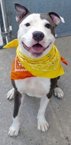 SAFE 10/28/16 --- Manhattan Center GREG – A1093887  MALE, GRAY / WHITE, AM PIT BULL TER MIX, 8 mos STRAY – STRAY WAIT, NO HOLD Reason STRAY Intake condition EXAM REQ Intake Date 10/18/2016  http://nycdogs.urgentpodr.org/greg-a1093887/
