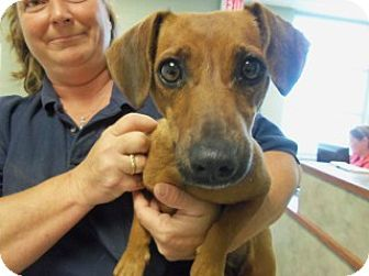 Joplin Mo Dachshund Mix Meet Lucky 107020 A Dog For Adoption