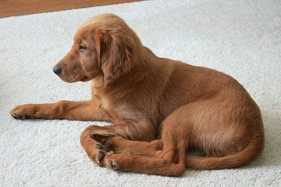 Golden Irish Setter And