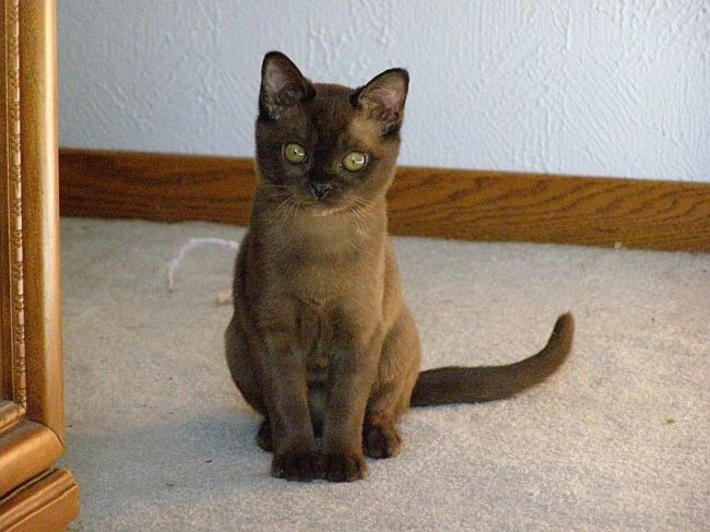 Burmese Cats Personality Pets Photos Burmese Cat Burmese Kittens Cat Personalities