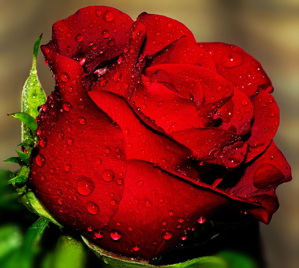 Roses are Red Happy Friday! (With images) Beautiful