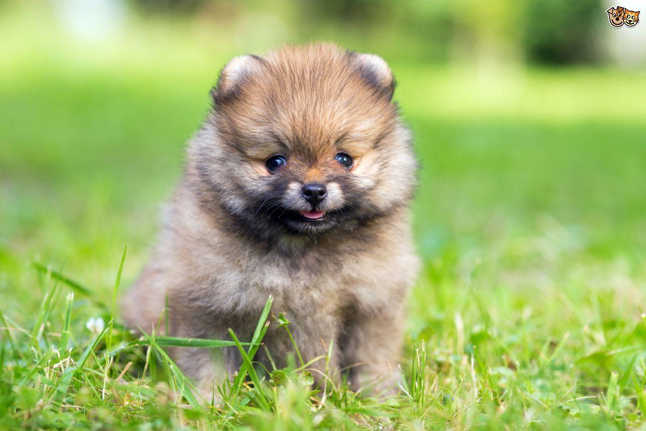 Great Spitz Canine Adorable Dog - 37f91c576530a707c3e5527c6beb232c  2018_109638  .jpg