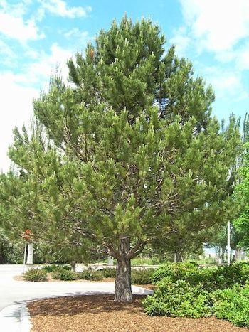 austrian pine - trees