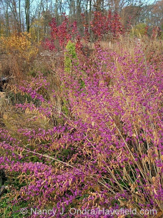 The fruits of 'Issai' purple beautyberry (Callicarpa dichotoma) have been particularly pretty this year - Hayfields