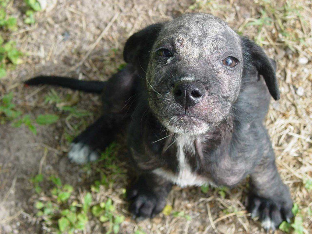 Are there home remedies for dog mange dog skin problem
