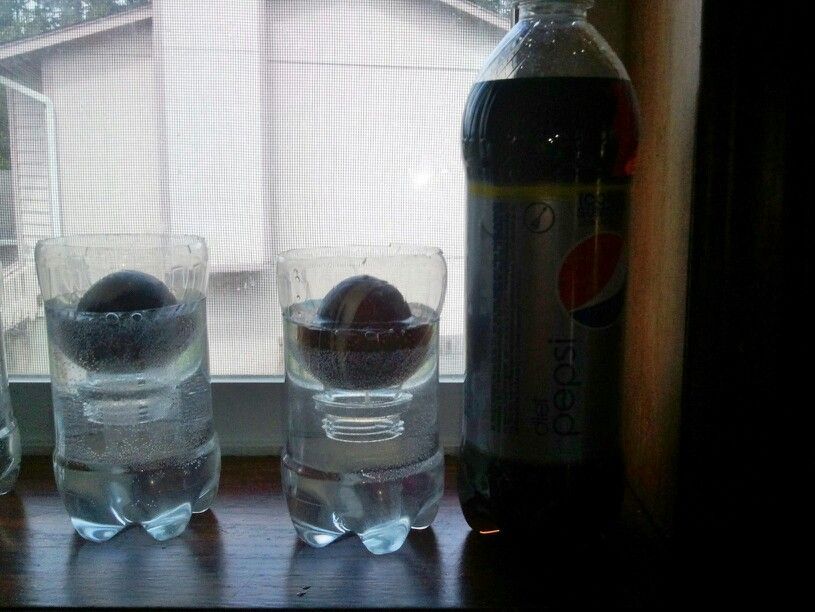 Growing avocado pits Using a plastic pepsi bottle.  Cut  top off then cut remaining bottle to size. Stays immersed in water no toothpicks needed invert top upside into bottle place pit and fill