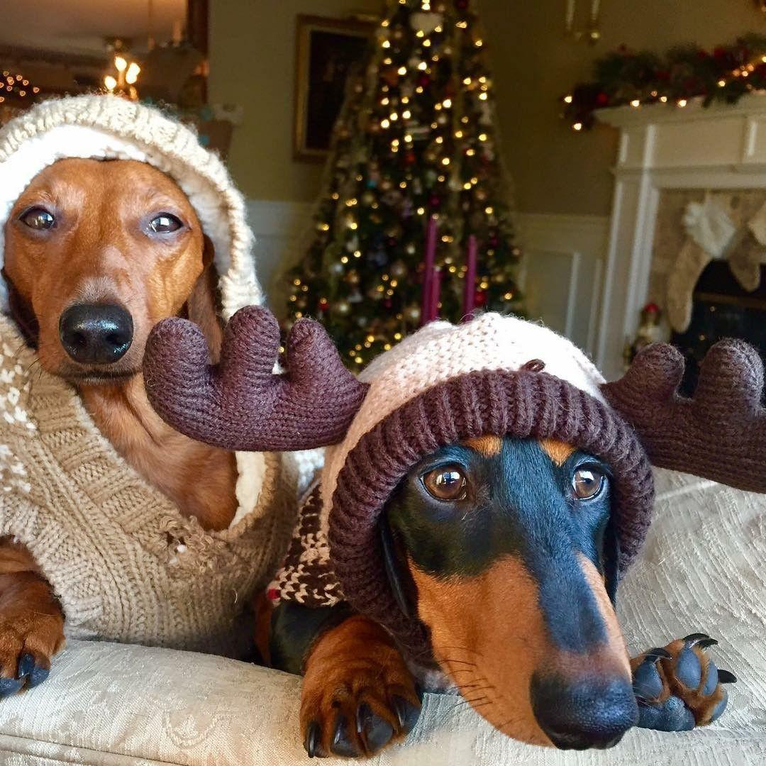 Christmas Doxies Christmas Cuties Funny Dachshund Dachshund