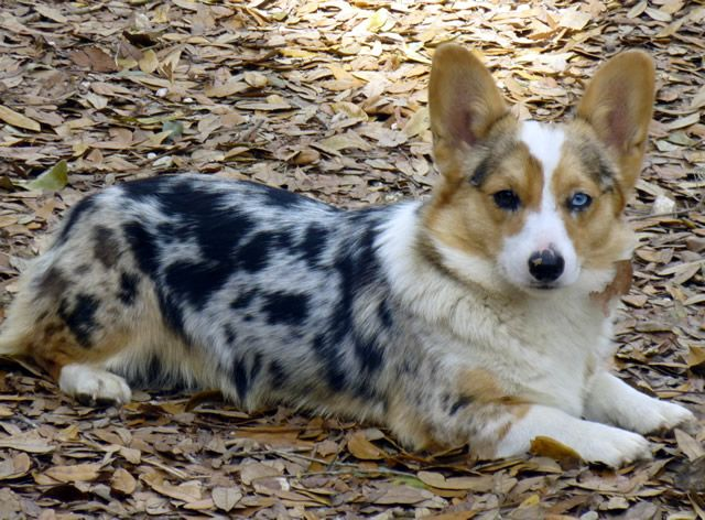Misty Pembroke Cardigan Mix Kind Of Looks This Corgi Is