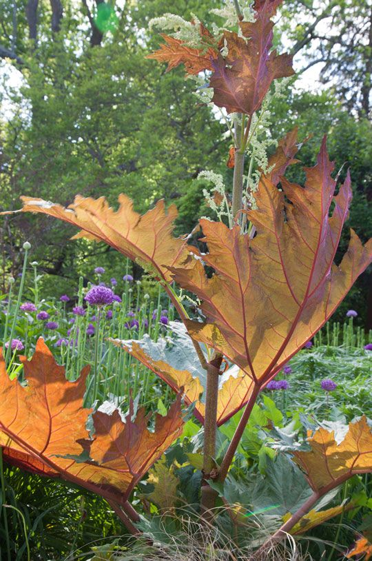 Rhubarb Flowers What To Do When Rhubarb Goes To Seed: Rheum Palmatum Var. Tanguticum, The Ornamental Rhubarb