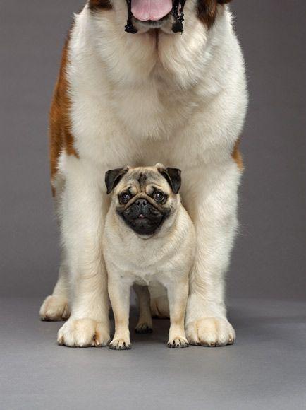 I Ve Got Your Back Pugs Big Dog Little Dog Dog Photos
