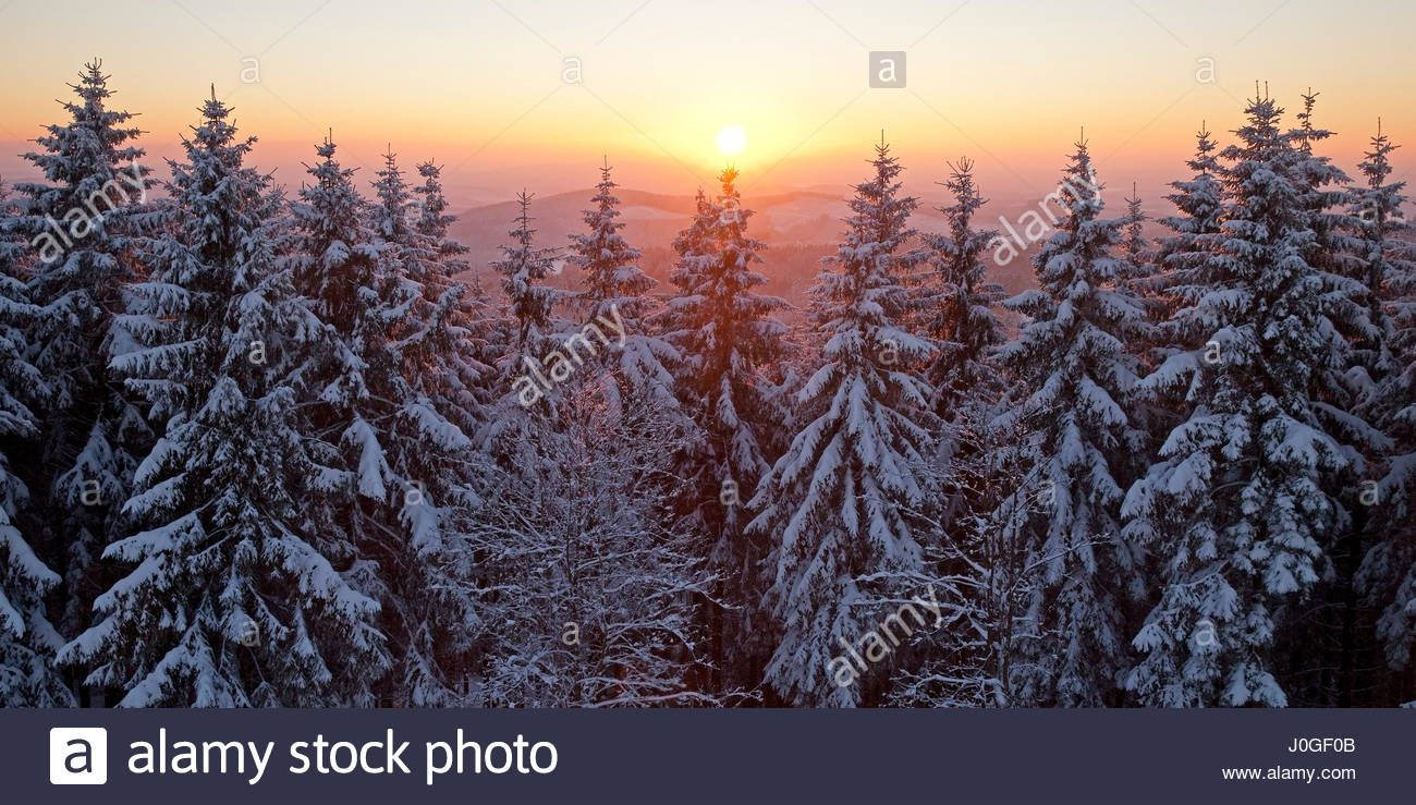 Snow Covered Spruce Trees At Sunset In Winter Backlit Near Stock Photo Royalty Free Image 138045947 Alamy Photo Stock Photos Westphalia Sunset forest snow winter spruce trees