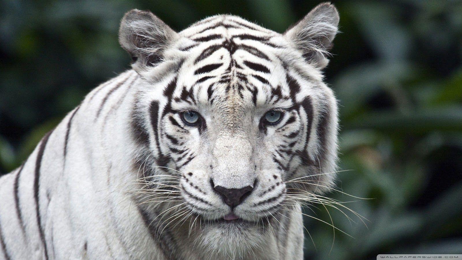 Hd Wallpapers White Tiger Hd Wallpaper 1080p Pet Tiger White Tiger Tiger Poster