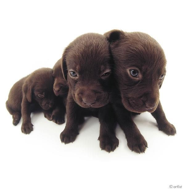 Artlist Collection THE DOG (Labrador Retriever) — After birth, puppies' eyes do not fully open until they're about 12 days old.