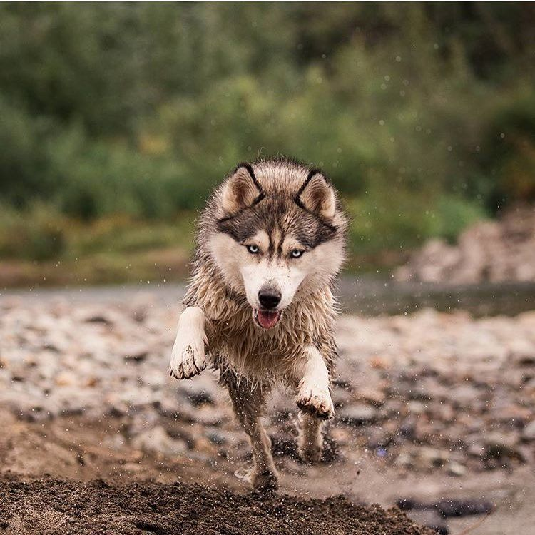 Pawsthatwander Husky Huskythings Dogs Officialhuskylovers