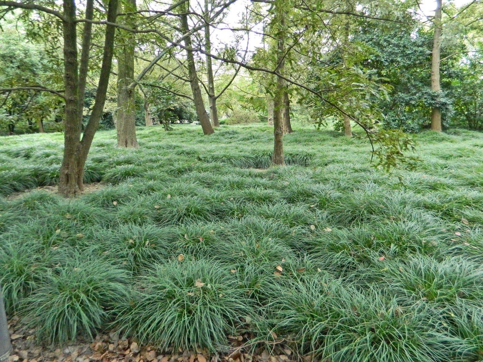ophiopogon japonicus muguet du japon persistant gramin es pinterest jardins couvre sol. Black Bedroom Furniture Sets. Home Design Ideas