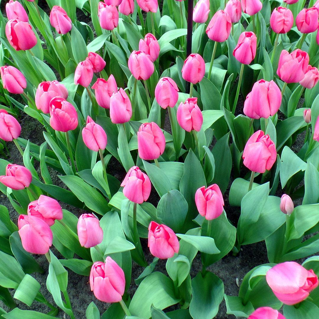 Tulpenblute Reise Inspiration Reiseblogger Urlaub In Europa