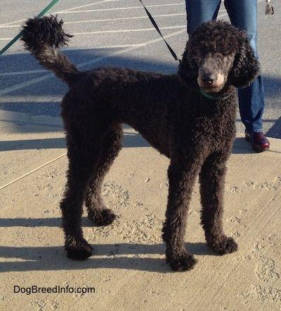 Standard Poodle Information And Pictures Barbone Standard