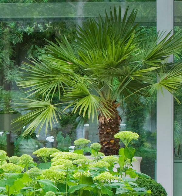 Recette de jardin 1 palmier chanvre le palmier de chine for Palmier dans pot