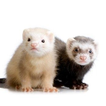 Loved My Little Ferret Miss U Lady Pet Ferret Cute Ferrets Baby Ferrets