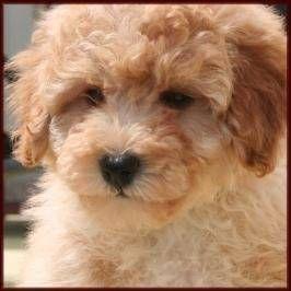 Poochon Puppies Ckc Registered Home Raised Poochon Puppies