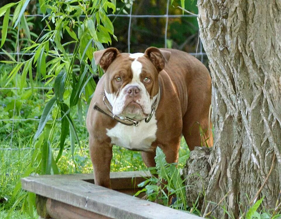 Mighty Michigan S Diesel At 9 Months Bully Dog Dog Paws English Bulldog