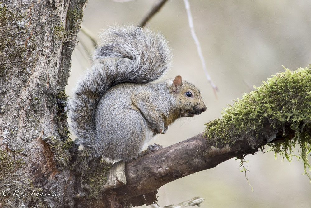 Photograph Eastern Grey Squirrel by Rita Ivanauskas on 500px