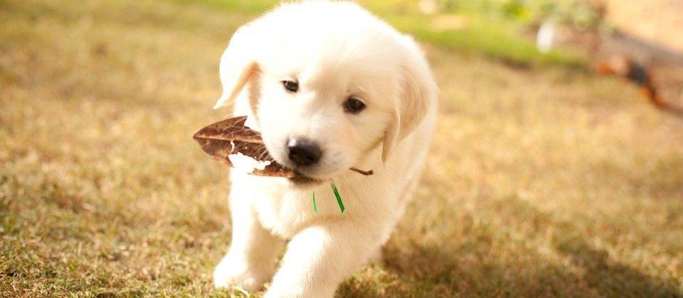 English Cream Golden Retriever White Golden Retriever Puppy Cute
