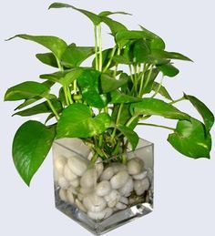 Water Money plant | indoor garden | Pinterest | Money plant ...