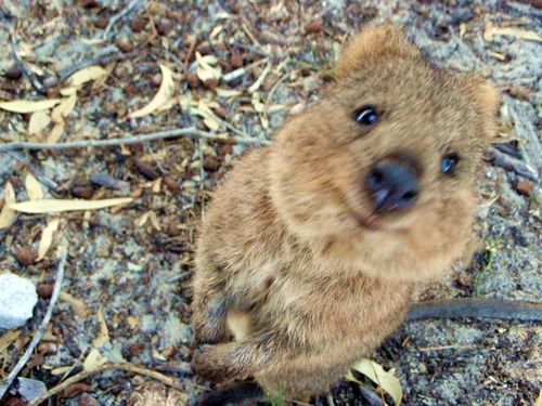 Cutest And Happiest Animal On Earth A Quokka They Are - 15 photos that prove quokkas are the happiest animals in the world