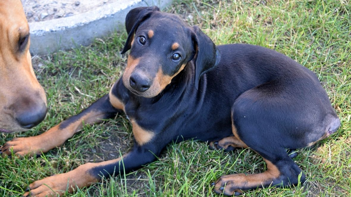 Awesome B C Spca Seeks Owner Of Doberman Puppy That Suffered