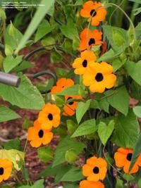 Black Eyed Susan Vine (found seeds on Amazon)  Will plant