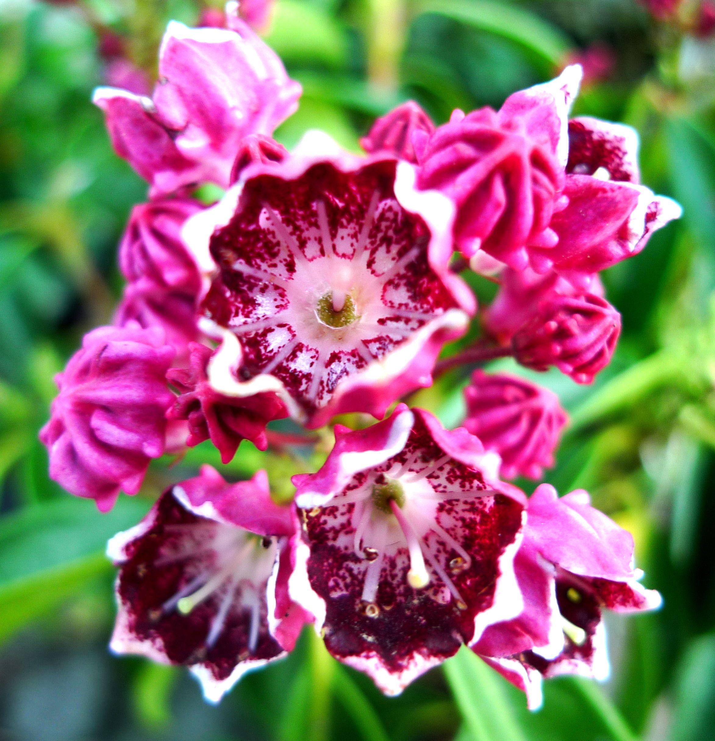 Kalmia Latifolia Kaleidoskop Kalmia Latifolia Flowers Plants