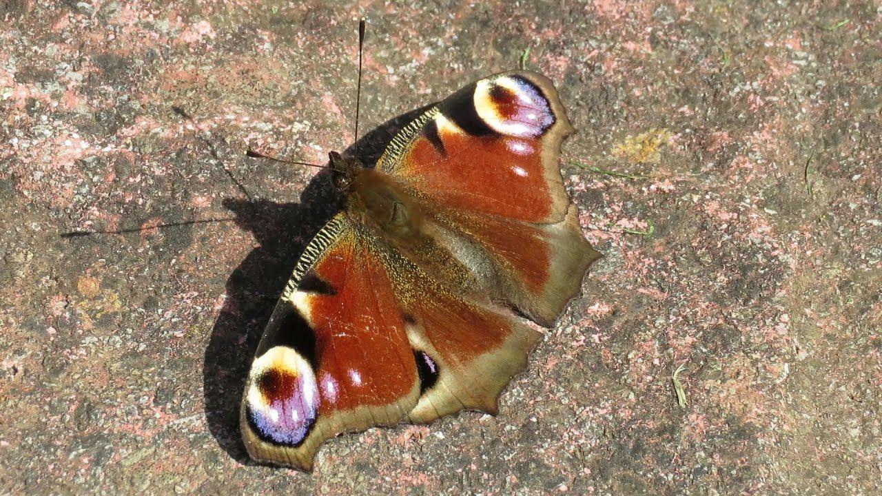 Peacock butterfly 🦋 200405 in 2020 Peacock butterfly