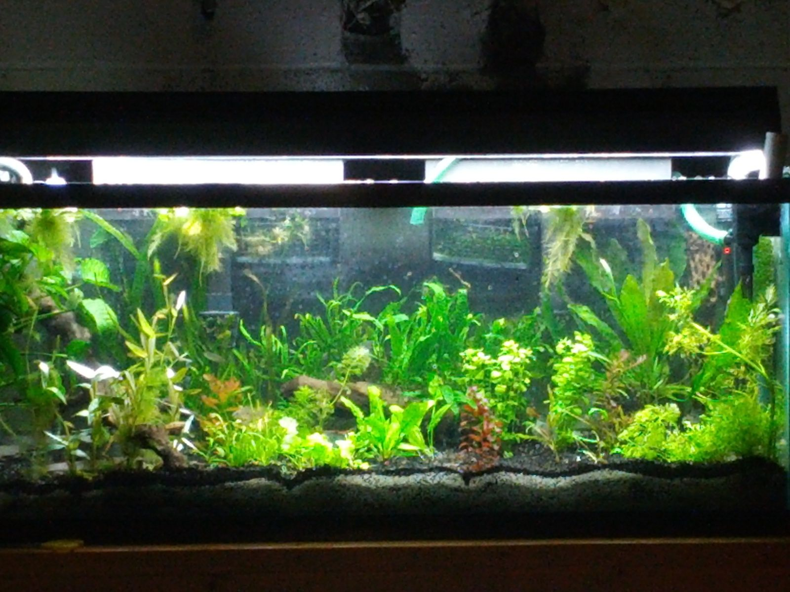 Low tech planted tank fish stuff pinterest for Plante aquarium