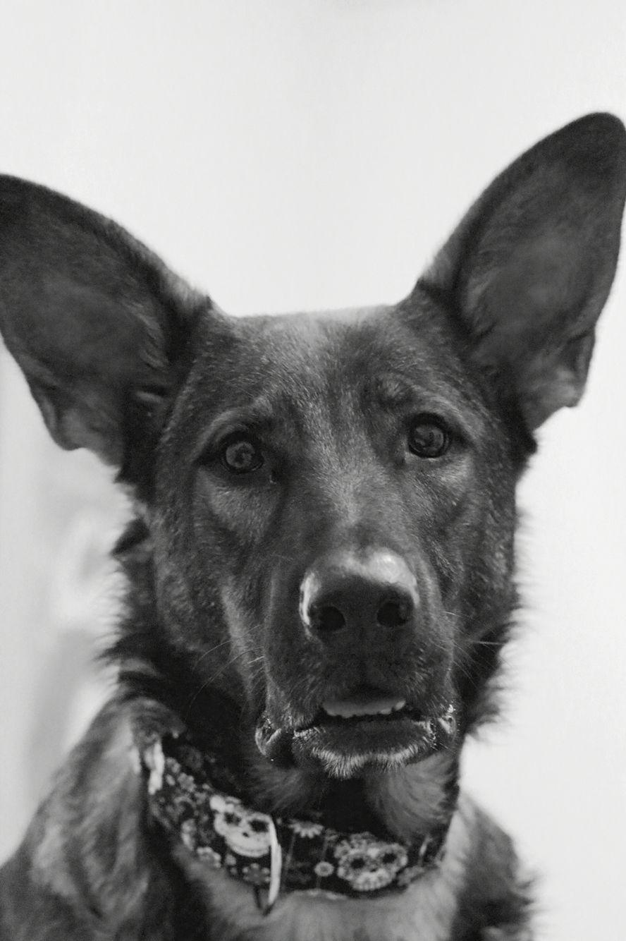 Lol! Millies ears! German shepherd dogs, Shepherd dog